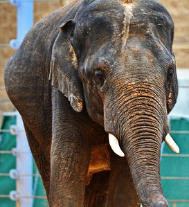 Houston_Zoo_BPG_Asian_Elephant_500_0083