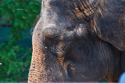 Houston_Zoo_BPG_Asian_Elephant_500_0065