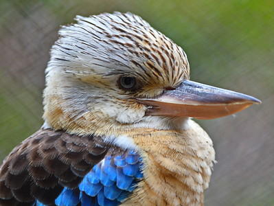 Houston_Zoo_BPG_Blue-winged_Kookabarra_500_0549