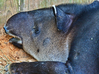 Houston_Zoo_BPG_Barids_Tapir_500_0221