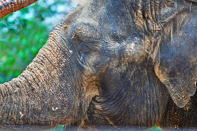 Houston_Zoo_BPG_Asian_Elephant_500_0069