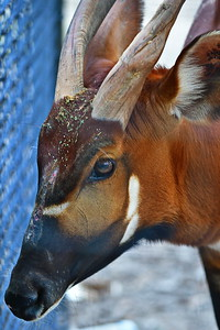 Houston_Zoo_BPG_Bongo_500_0186