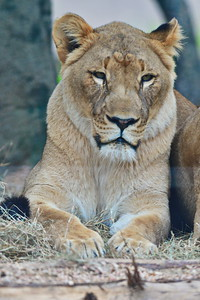 Houston_Zoo_BPG_African_Lion_500_0508