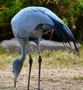 Houston_Zoo_BPG_Blue_Crane_500_0600a