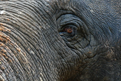 Houston_Zoo_BPG_Asian_Elephant_Eye_500_0100