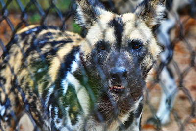 Houston_Zoo_BPG_African_Spotted_Dog_500_0251
