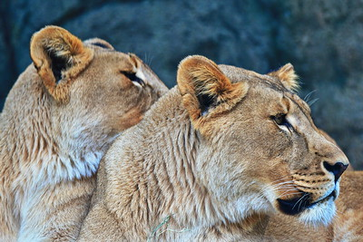 Houston_Zoo_BPG_African_Lion_500_0492