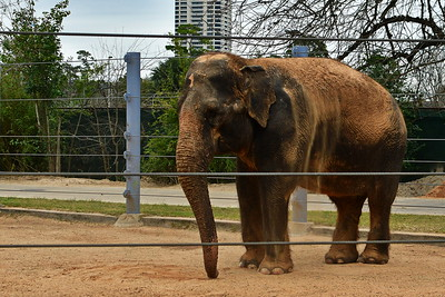 Houston_Zoo_BPG_Asian_Elephant_500_0071