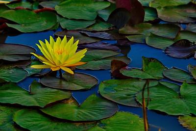 Bridgeland_Water_Lilies_Hidden-Creek_RAW0895a_resize