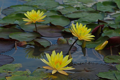 Bridgeland_Water_Lillies_3-Yellow_RAW0894_resize
