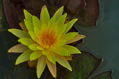 Bridgeland_Water_Lilies_Hidden-Creek_RAW0896a_resize