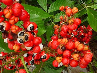 EYEBALL FRUITS