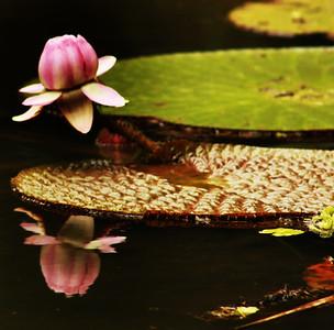 AMAZON ORCHID
