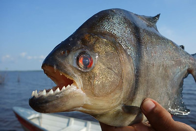 THE FIERCE AND DEADLY PIRANHA OF THE AMAZON RIVER