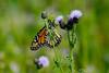 Monarch-2619