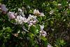 Wild Apple blossom-0159