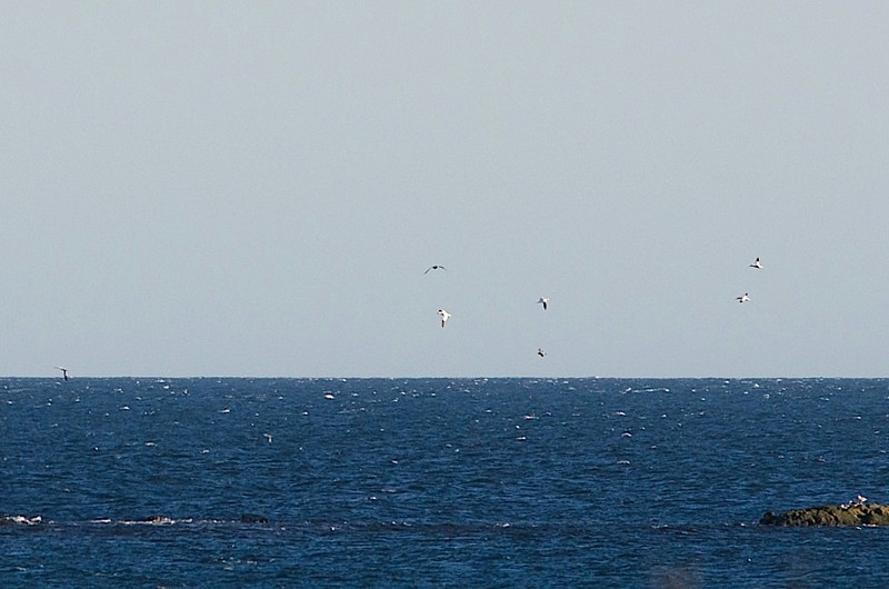 Gannets from cottage