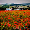 Poppies over Amex
