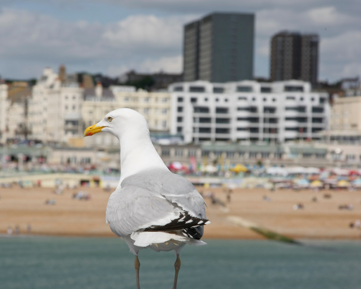 Seagull perched in front of a view of Brighton beach and sea