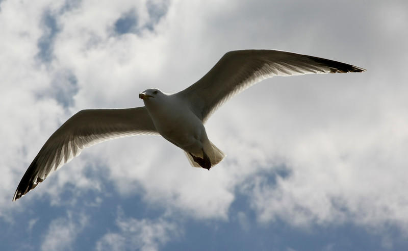 Seagull in Flight over Brighton