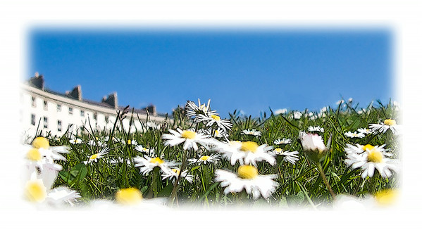 Daisies on Adelaide Crescent, Brighton and Hove