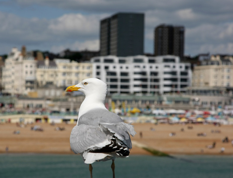 Side view of a seagull with the backdrop of Brighton beach and the sea