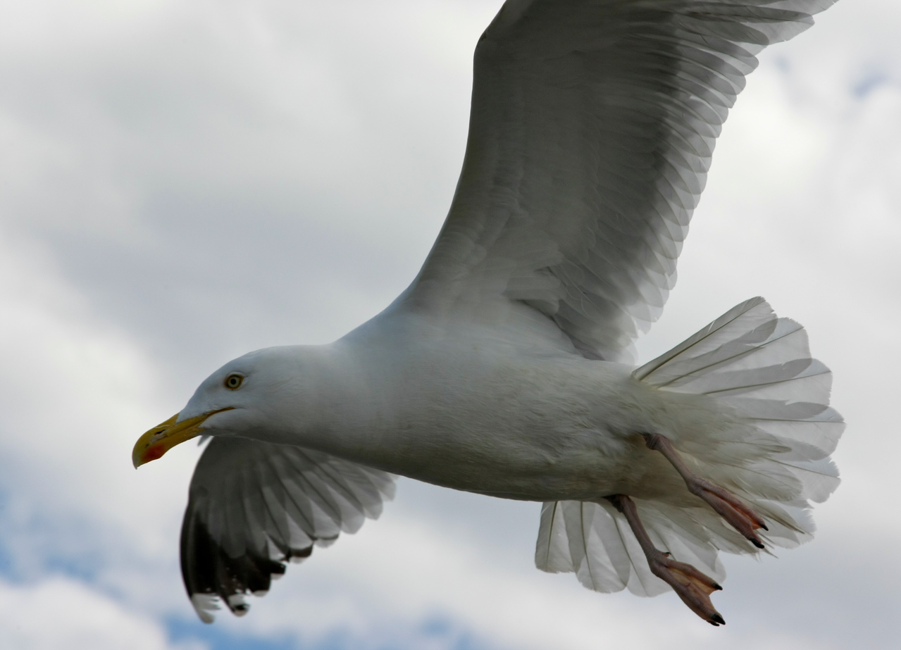 Close up of a seagull in flight over Brighton pier