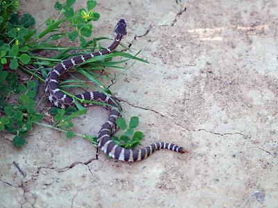Rattlesnake, Briones