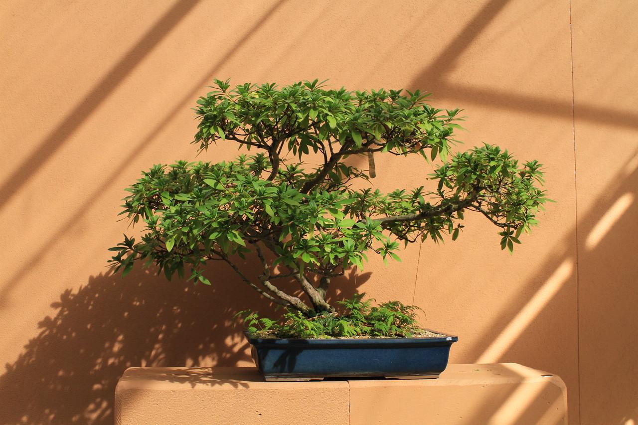 Bonsai at Botanical Gardens