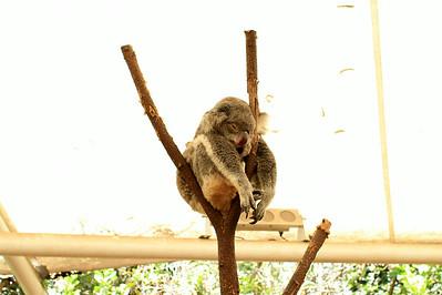 A hard life of koala