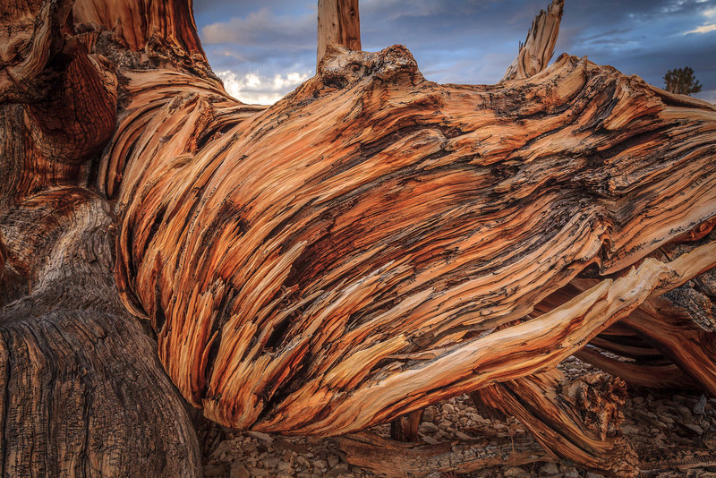 Closeup of Ancient Bristlecone Pine