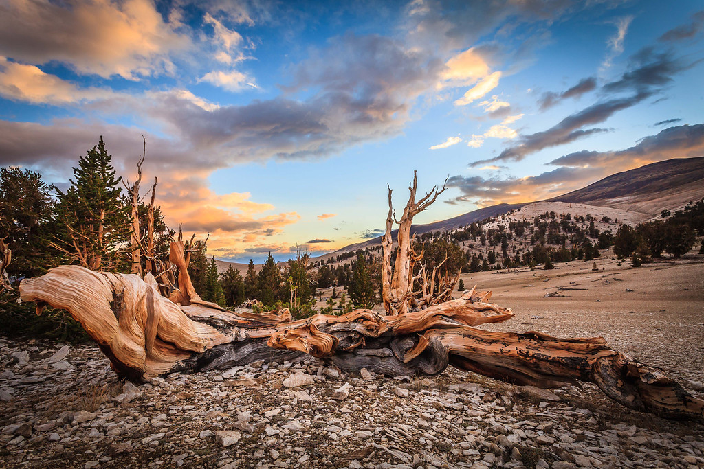 Wide view of the Ancient Bristlecone Pine Forest