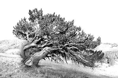 Ancient Bristlecone at Windy Ridge