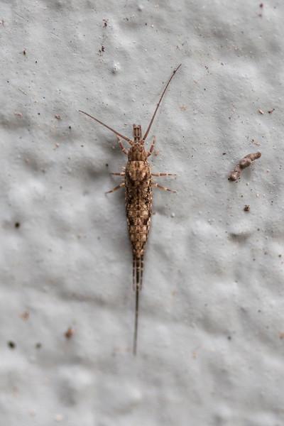 Unidentified Bristletail (Microcoryphia)