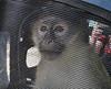 The famous bad monkey?