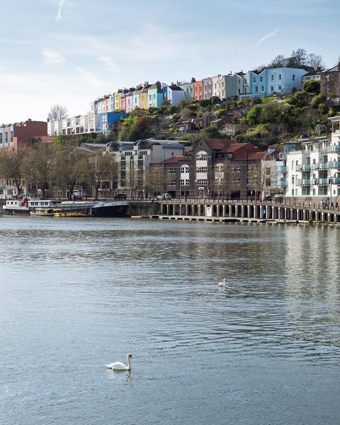 Swans in Bristol Harbour