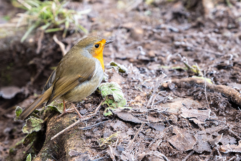Frome Valley robin