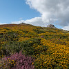 Heather and Gorse on Haytor