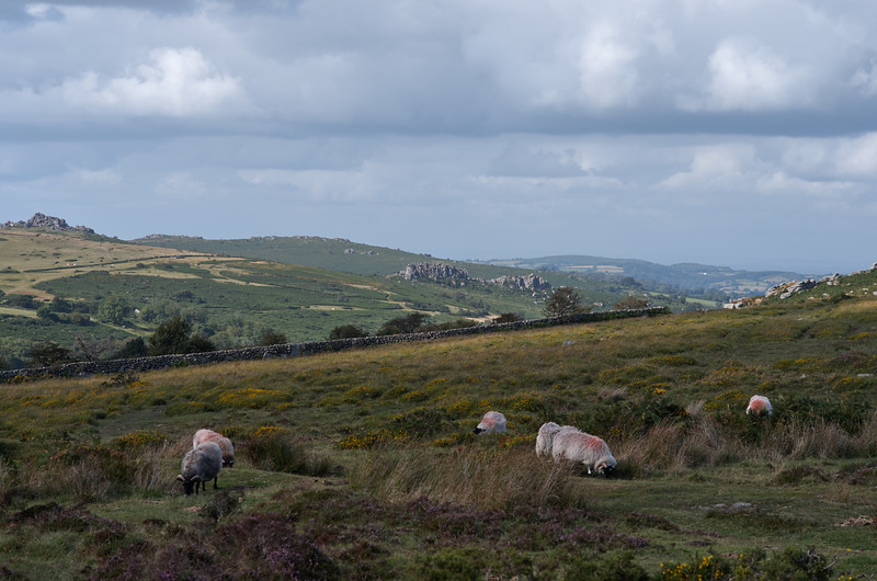 Sheep near Saddle Tor