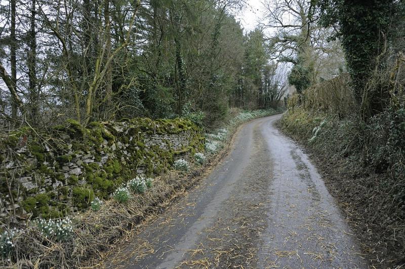 Snowdrops, Waitby, Cumbria, 5 March 2014.