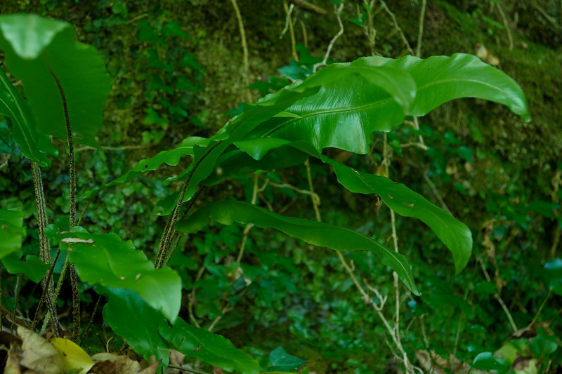 Green Leaves on the Watersmeet trail