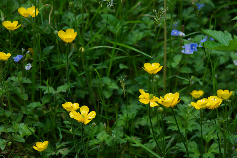 Buttercups on the Watersmeet trail