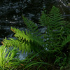 Fern on the the Watersmeet trail