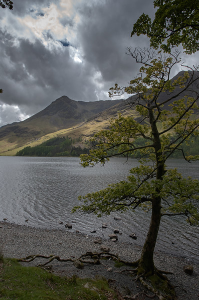 Lone Tree, Buttermere