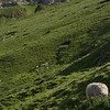 Hillside Sheep