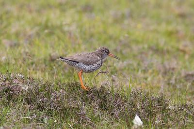Sandpiper on Unst, Shetland