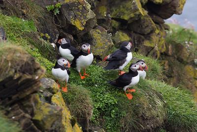 Puffins at Sumburgh, Shetland