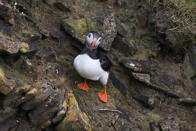 Puffin at Sumburgh, Shetland