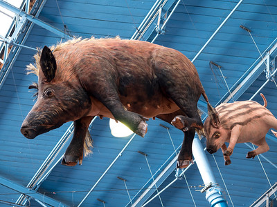 pigs suspended from the ceiling,indoor market hall,Abergavenny,Wales.