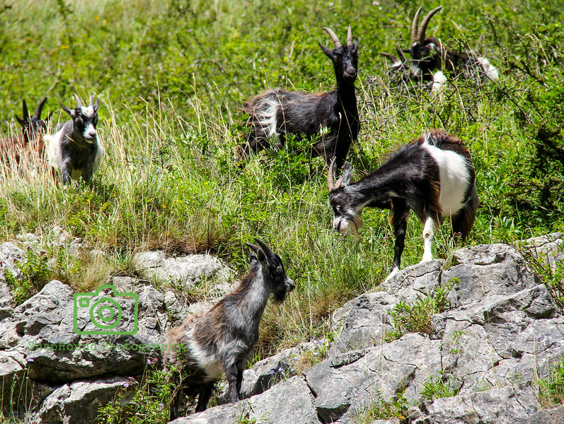 Wild Goats at Cheddar Gorge